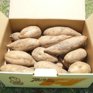 <産地直送JAタウン> 【鹿児島県内でもまだまだ珍しい♪】鹿児島県産 マロンゴールド 約10kg 10/10頃〜発送