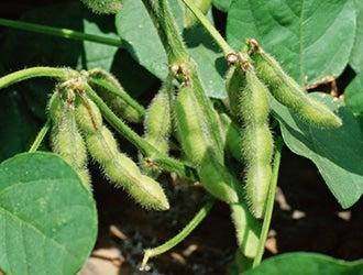 枝豆・だだちゃ豆など